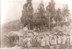 Patrimonio. Les Vendanges. 1913